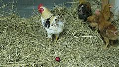 chickensml1