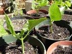 phipps-bean-plant1